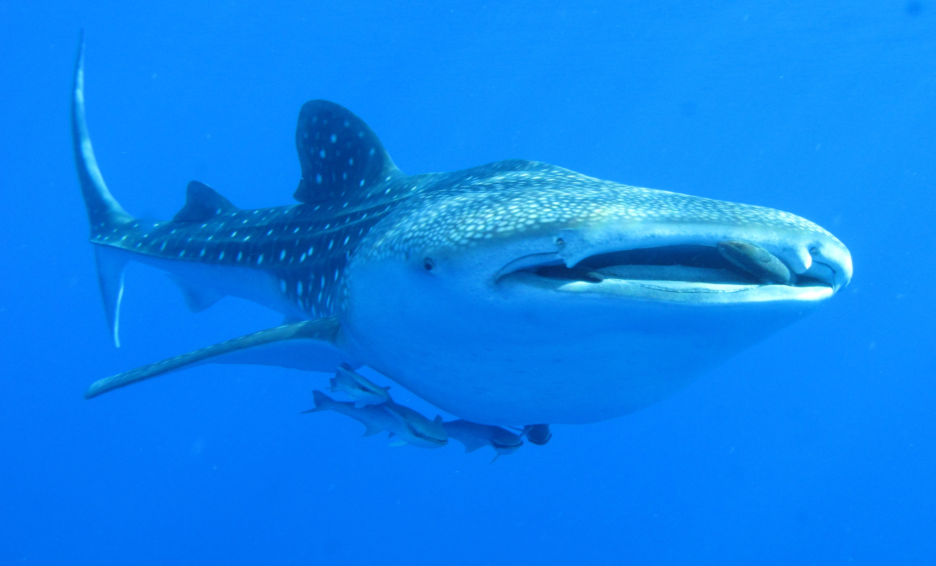 The whale shark is the world's largest fish specie. Photo credit: Derek Keats/Wikimedia Commons [Licensed under CC BY 2.0]
