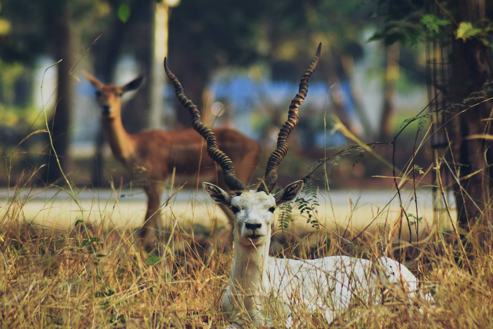 A rare white blackbuck on the IIT campus. (Photo credit: Saarang, IIT-Madras, via Facebook).