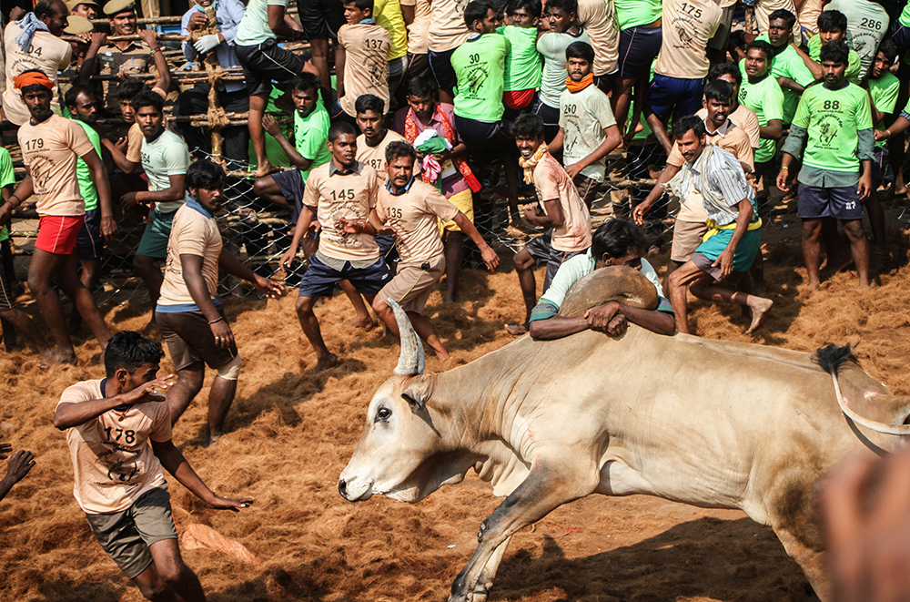A player leaps out of the way the approaching bull as another tries to hold onto the hump. Around 100 to 150 players are allowed into the playing arena at a time.