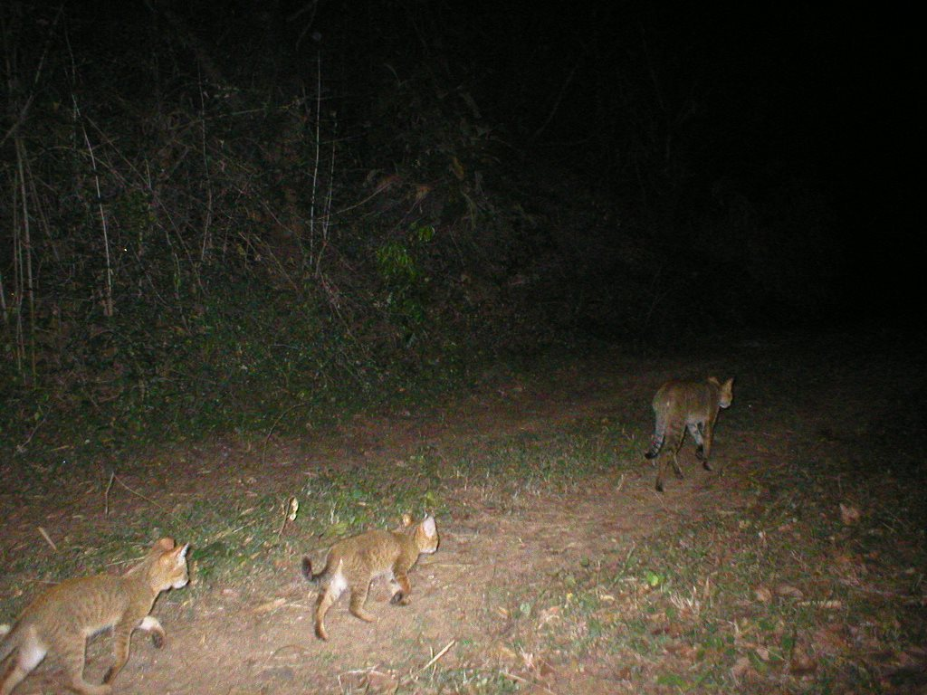 A jungle cat and her kittens became our visitors.