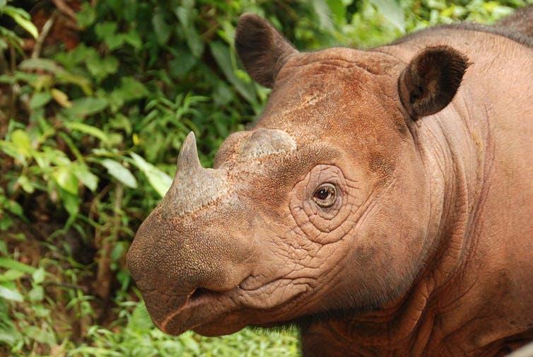 The Sumatran Rhino, the most primitive rhino species, is a denizen of dense rainforests. Photo Credit: Bill Konstant/International Rhino Foundation
