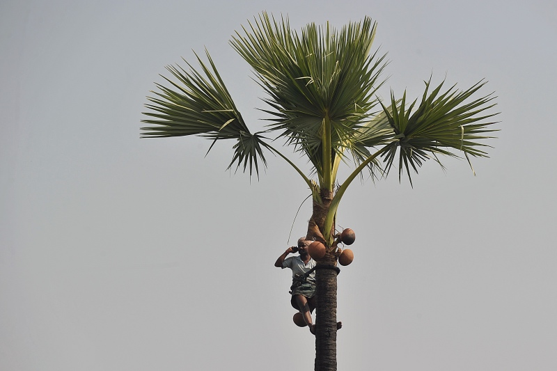 An Indian toddy tapper in Telangana's Nalgonda district. Photo credit: Noah Seelam/AFP.