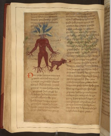 The mandrake as drawn in 'Cotton MS Vitellius C III' (Image courtesy: British Library).