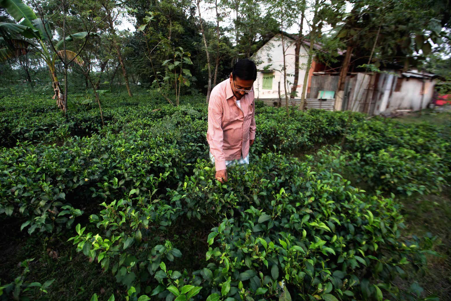 Subhash Sarkar in his small tea garden.
