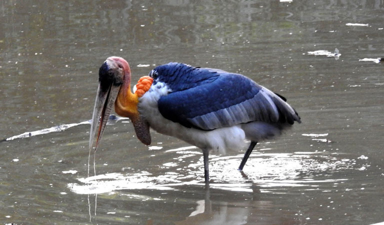 A Greater Adjutant stork wading in Kaziranga National Park, Assam. Image Credit: Dr. Raju Kasambe, CC BY-SA 4.0