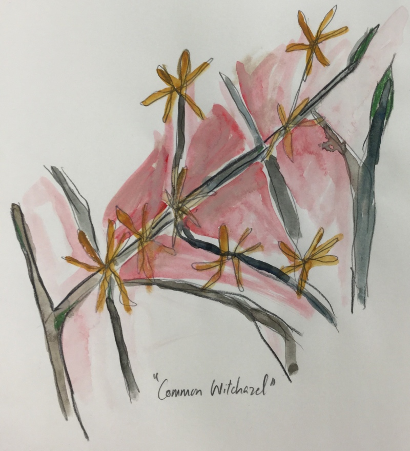 Fall flowering Witch Hazel, watercolour and pencil on paper. (Credit: Mahum Shabir).