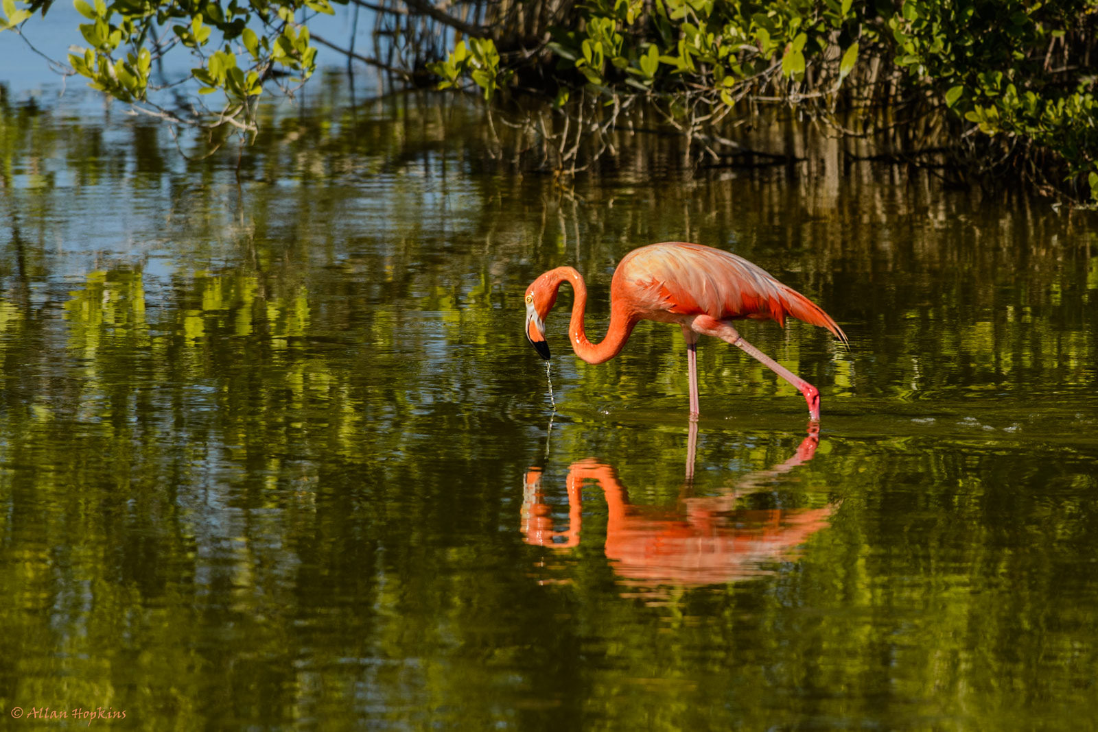 "A flamingo in Cuba's northern keys, where thousands of flamingos were found dead after Irma's landfall. Lisa Sorenson, of BirdsCaribbean, explained that long-legged waders such as flamingos are especially vulnerable to hurricanes, as they are ""pretty defenseless in a storm."" Photo credit: Allan Hopkins/via Flickr [licensed under CC BY 2.0]"