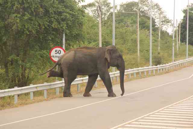 Elephants crossing the road near the Hambantota airport. Photo Credit: Rahul Samantha Hettiarchchi
