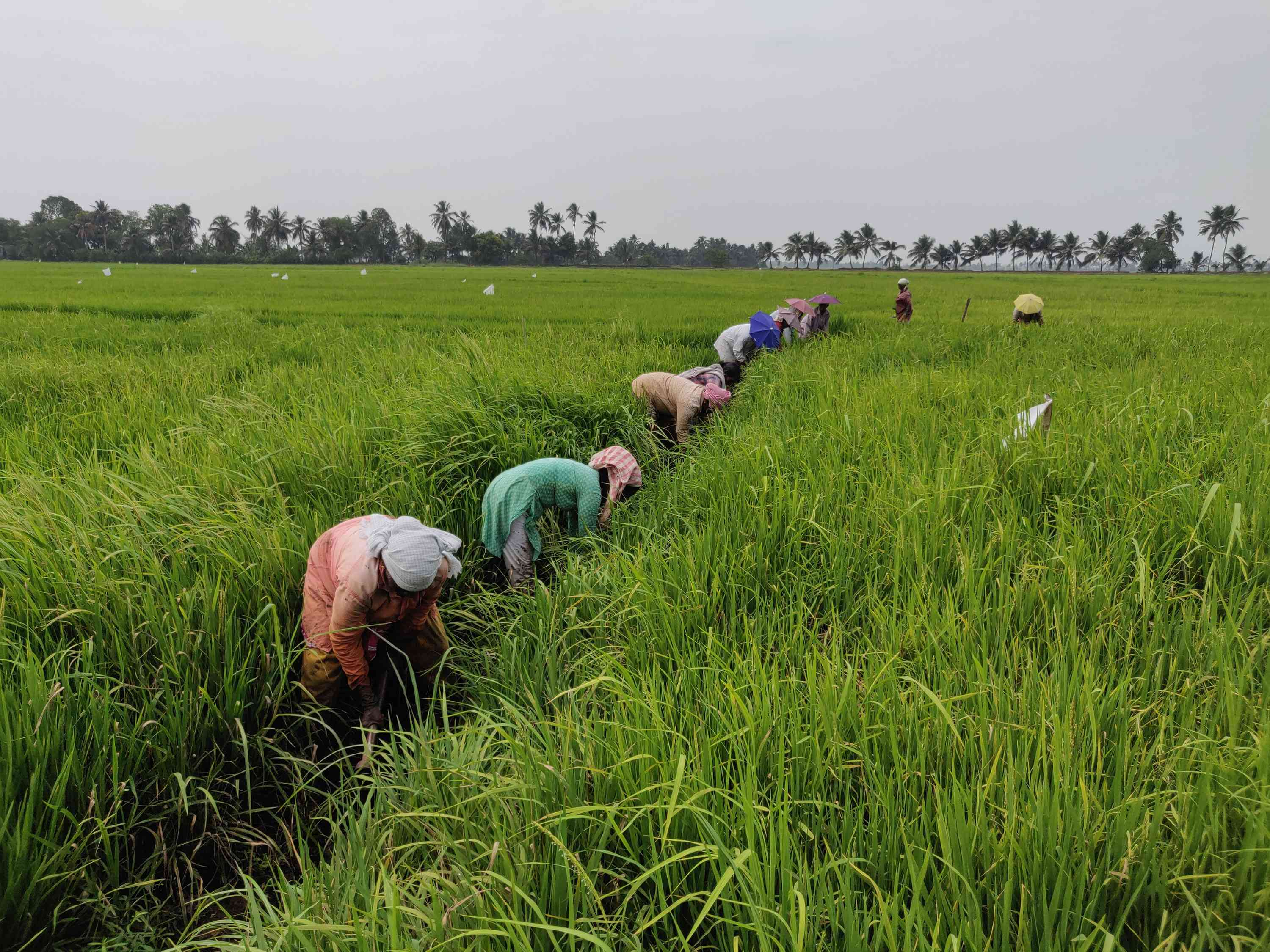 Farm labourers tend to a rice field in Kuttanad. Photo credit: TA Ameerudheen