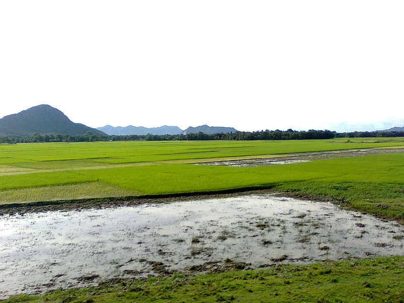 Paddy fields along the Brahmaputra in Assam. (Photo credit: PP Yoonus/Wikimedia Commons [Licensed under Creative Commons])