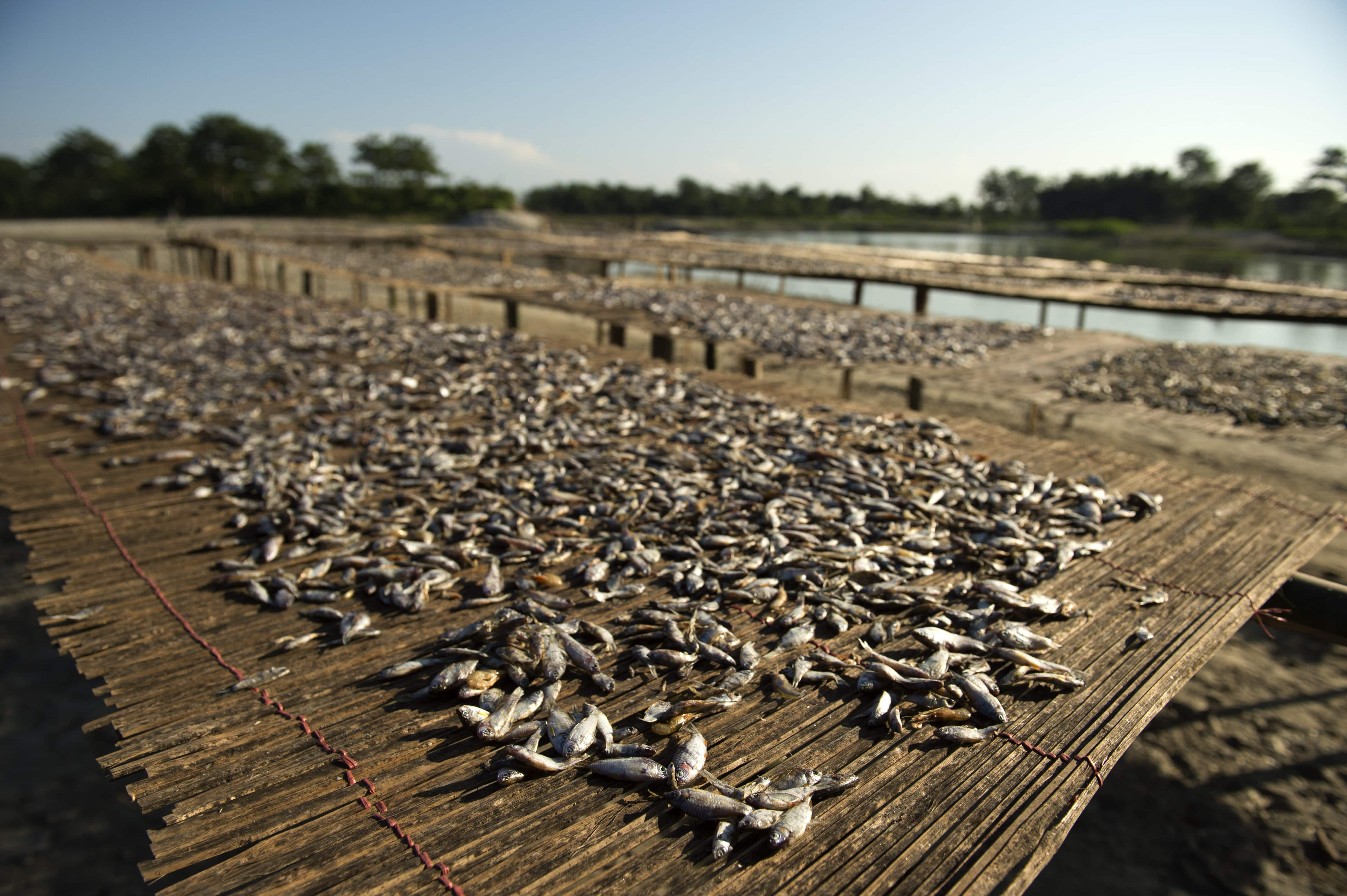 Fish caught by the Mishing community in Assam drying on mats made from bamboo. (Photograph by Arati Kumar Rao).