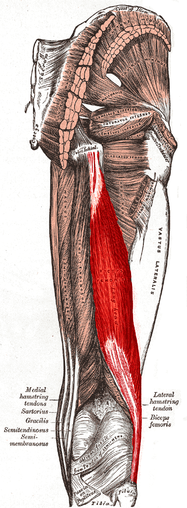 Posterior view of right leg showing the hamstring muscle. (Image: Wikipedia/Medical gallery of Mikael Häggström 2014)
