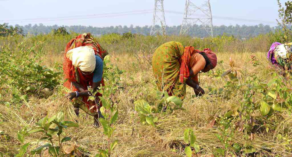 Women harvesting small millets from a farm. (Photo credit: Manu Moudgil/VillageSquare).
