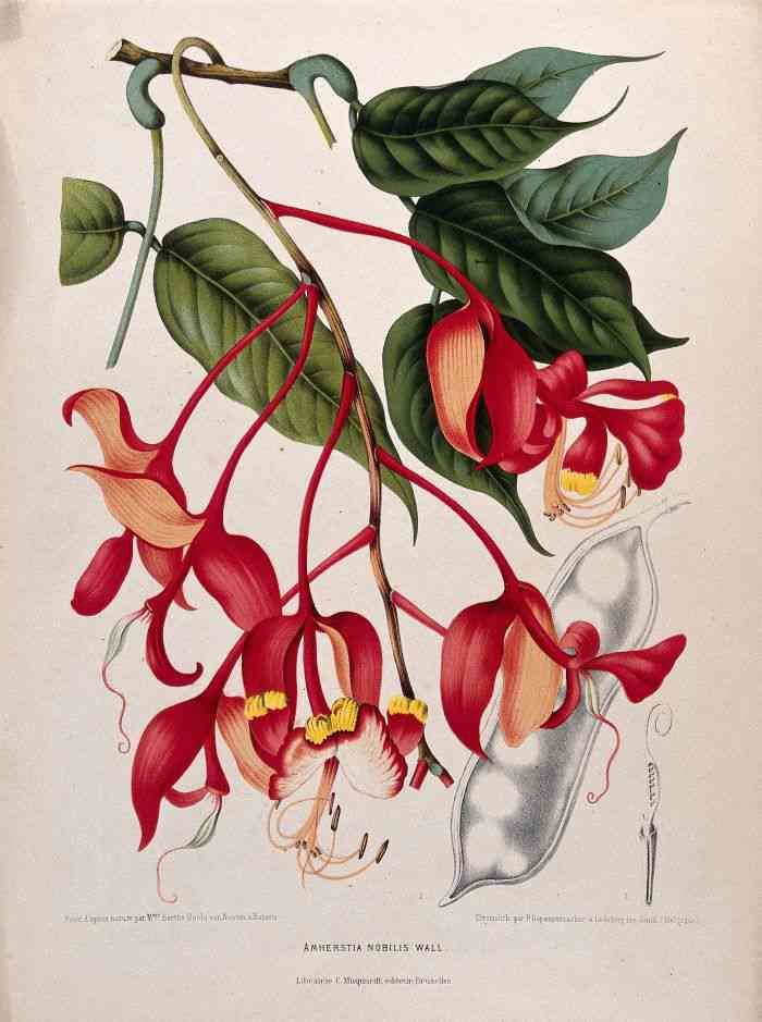 Orchid Tree or Pride of Burma (Amherstia nobilis): flowering branch with separate fruit and sectioned ovary. Chromolithograph by P. Depannemaeker, c. 1885, after B. Hoola van Nooten. Picture credit: Welcome Library, London/Wikimedia Commons CC-BY-4.0