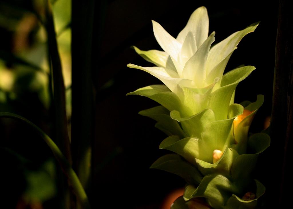 Turmeric flower. Photo credit: Sankarshansen/Wikimedia Commons [CC0 1.0 Universal Public Domain]