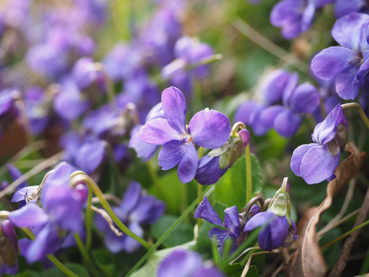 The scent of violet 'makes you want everything' but 'makes you sick of things a minute later. Photo credit: Hans/via Pixabay [Licensed under CC BY CC0]
