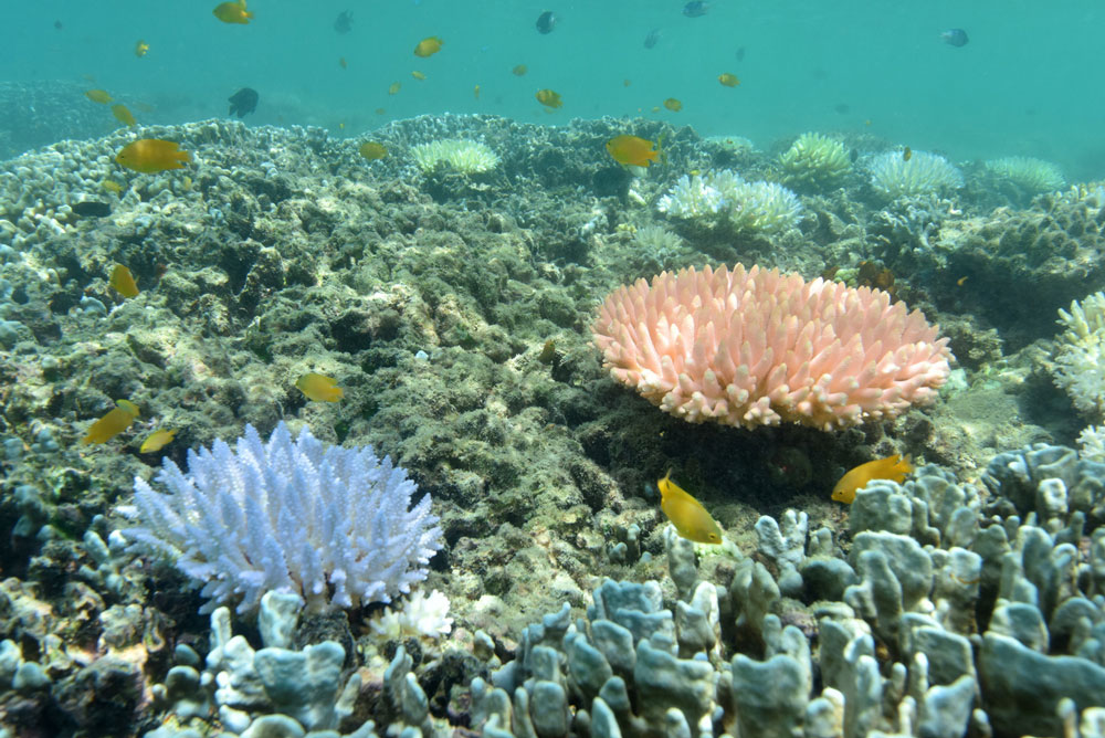 Bleached colonies stand out starkly. Justin Marshall/coralwatch.org