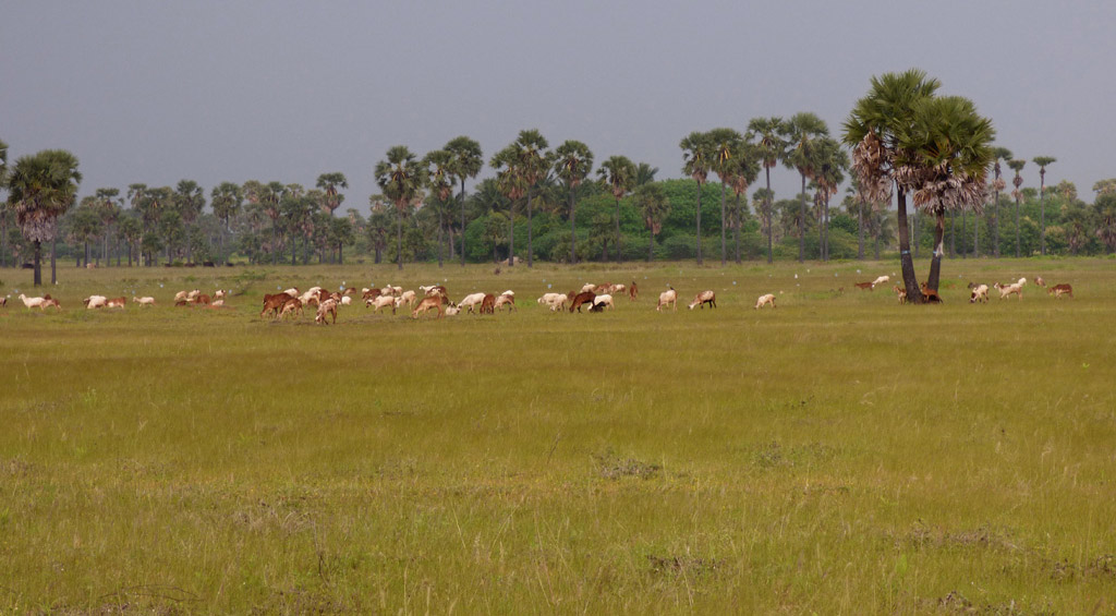 Livestock graze on grassland. (Photo credit: Prashanth MB).