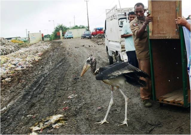 "The release of a rehabbed chick at a rubbish dump, a ""habitat"" which the Greater Adjutant now uses to replace India's lost and degraded wetlands. Image Credit: Purnima Devi Barman"