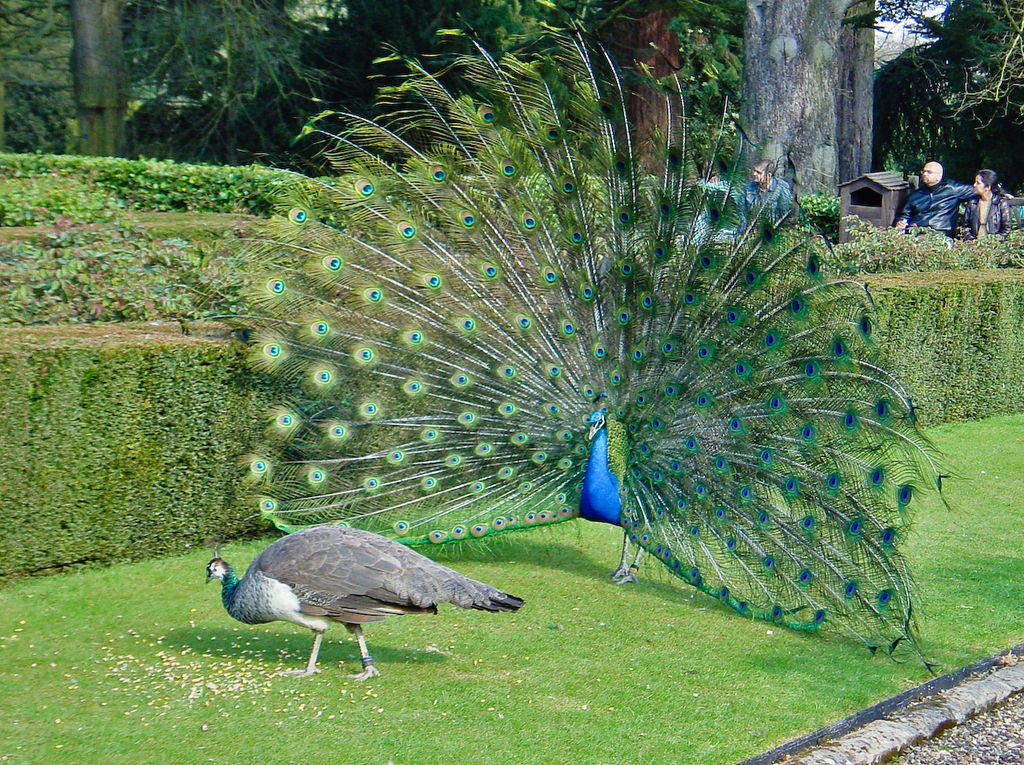 Peacock wooing peahen.Photo credit: ToastyKen/Wikimedia Commons [Licensed under CC BY 3.0]