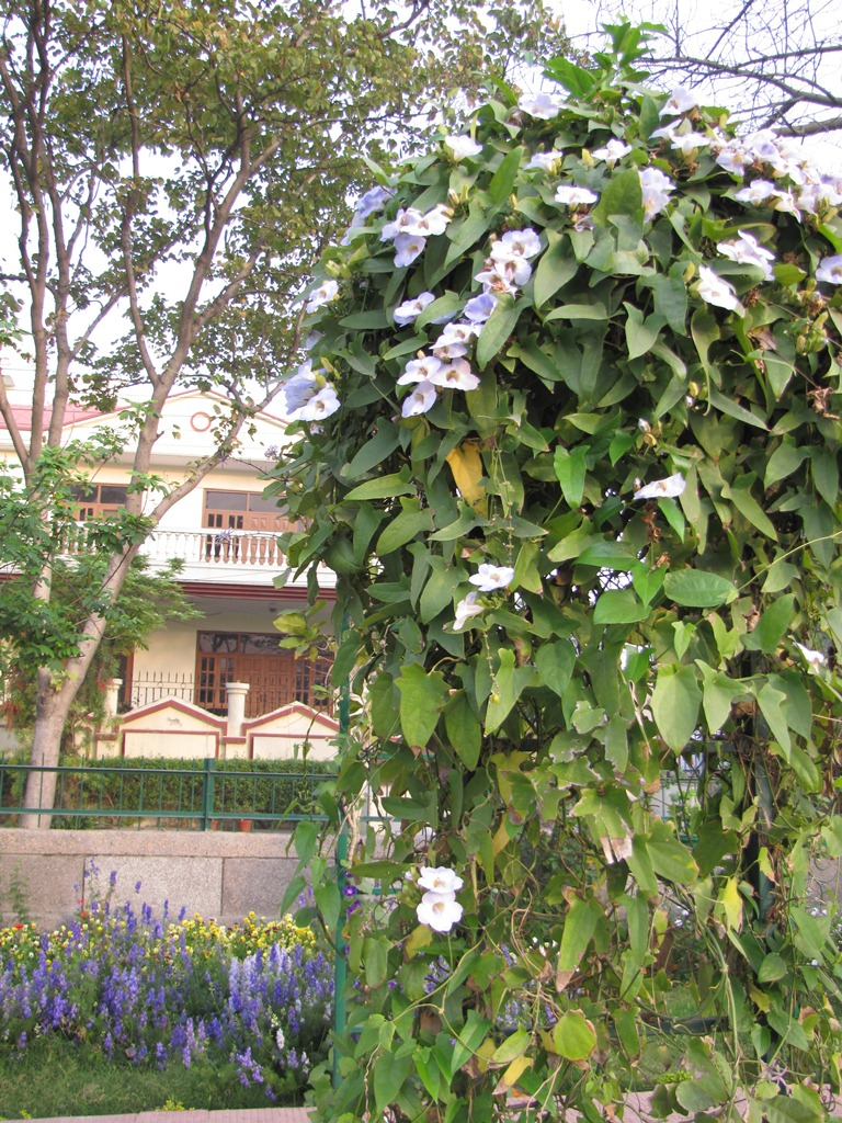 Grow vines to protect your urban home against the Indian summer