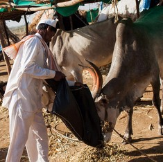 In drought-hit Marathwada, farmers are stuck with thirsty cattle – and official apathy