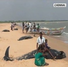 Why efforts to rescue 100 beached pilot whales in Tuticorin may be doomed