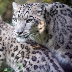 Snow leopard spotted in north Sikkim for first time