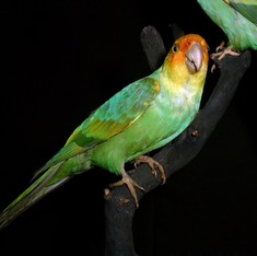 Will we soon see another wave of bird extinctions in the Americas?