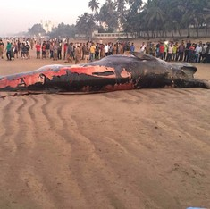 Don't push them back to sea: Letting beached whales die may be the humane thing to do