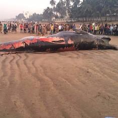 Massive Bryde's whale washes ashore on Mumbai's Juhu beach