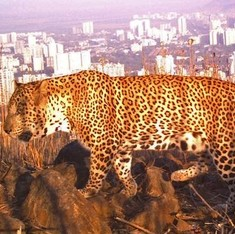 In the panic over Bengaluru's leopards, some lessons to be learnt from Mumbai