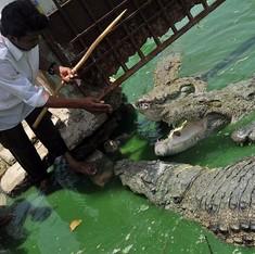 From legend to science: The tame crocodiles of Karachi's Manghopir shrine