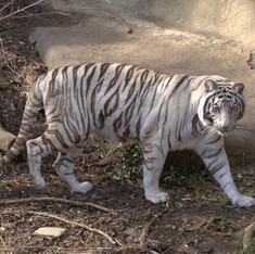 Behind 'the world's first white tiger safari' in Madhya Pradesh lie false claims and corruption