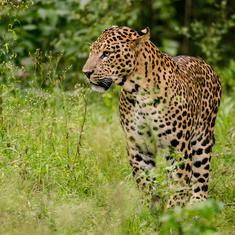 Maharashtra: Leopard enters residential locality in Nashik, injures three people