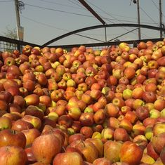Valley's summer of unrest and erratic weather have bruised Kashmir's apple growers