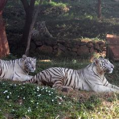 White tiger dies after being attacked by big cats at Bengaluru's Bannerghatta park