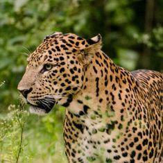 Mob hacks leopard to death in a Gurugram village