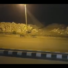 Watch eight lions out for a casual stroll on the inner streets of Junagadh in Gujarat