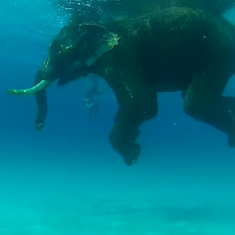 Watch beautiful videos of Rajan, the swimming elephant, who died at the age of 66