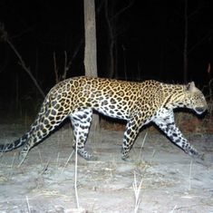 Indochinese leopard has disappeared from 94% of the places it once lived