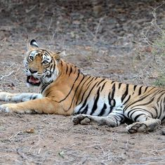 Two tigers at Ranthambore National Park die in suspected territorial fight