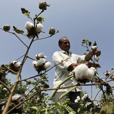 Why the government is right in controlling the price of Monsanto's Bt cotton seeds