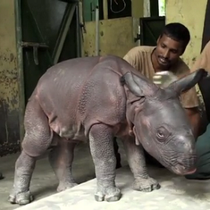 Watch: How a baby rhino gets some tender loving care