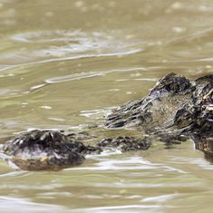 BJP legislator suggests culling protected crocodiles in Kota to prevent attacks on locals: TOI