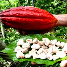 Can upscale chocolate turn the tide on Haiti's devastating deforestation?