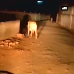 Watch: Two lions out for a late night stroll in a residential area in Junagadh