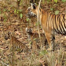 Interview: 'You can either save the Ken-Betwa link project or the Panna Tiger Reserve'