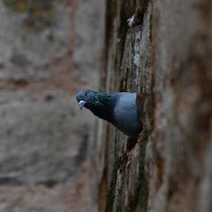 Pigeon caught with Urdu note on its leg remains lodged in Pathankot jail, no plans to release it