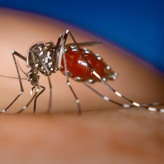 Video: Infecting Aedes mosquitos with a type of bacteria could control dengue, other viral diseases